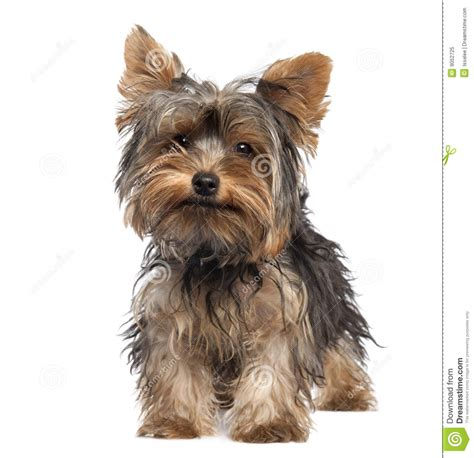 five yorkies terrier puppy 5 months stock image image of front nobody 9052725