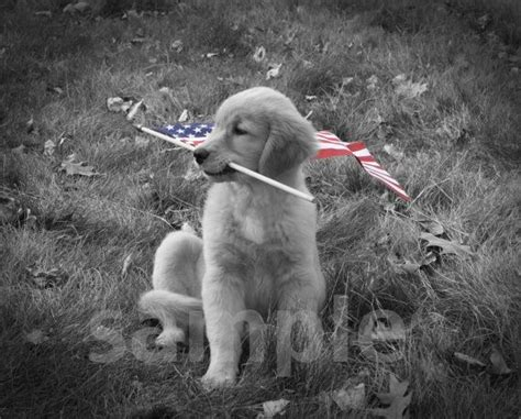black and white golden retriever pictures black and white golden retriever breeds picture