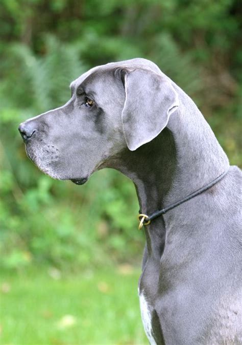 grey puppy names 10 best great dane names pinsit