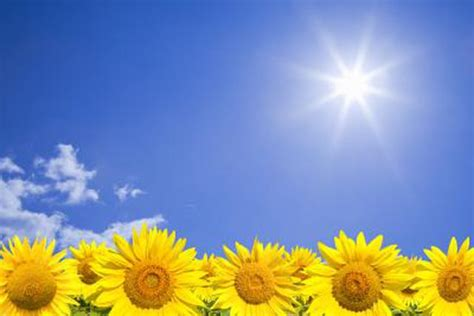 plants that need sunlight adaptations of the sunflower plant hunker