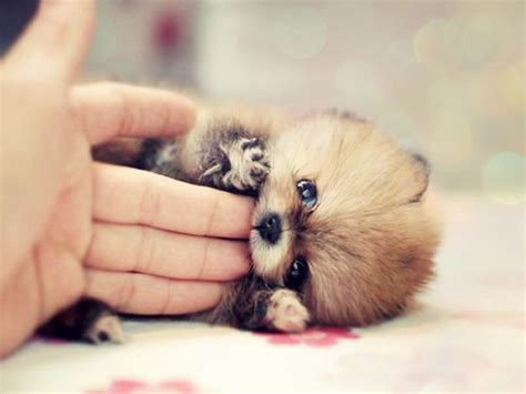 pictures of baby pomeranians pomeranian puppy enjoying some quot finger food quot