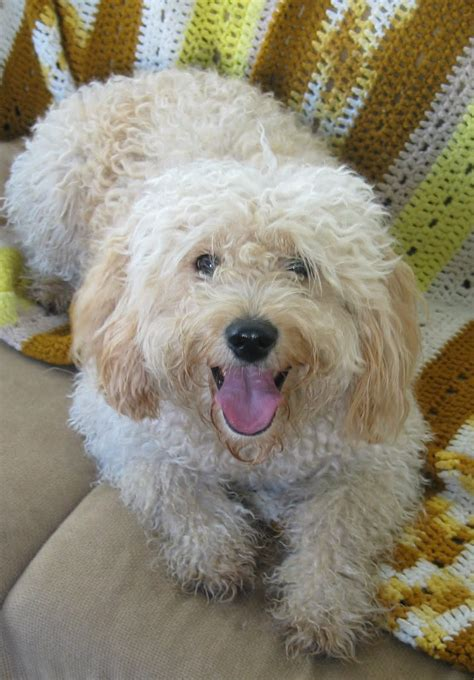 mini goldendoodles daisey s doodles seattle f1b mini goldendoodle