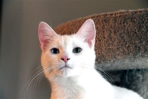 cat with different colored white cat with different color pictures to pin on