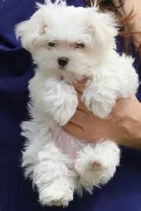 Maltese Puppies Maltese Articles 2puppies