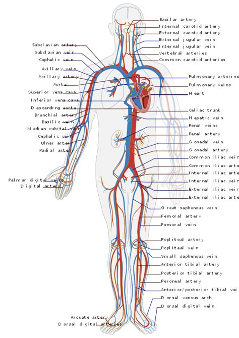 control  blood pressure boundless anatomy  physiology