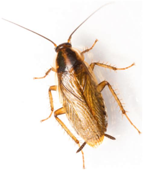 Help My Apartment Has Cockroaches Brownbanded Cockroach Pest Survival Guide