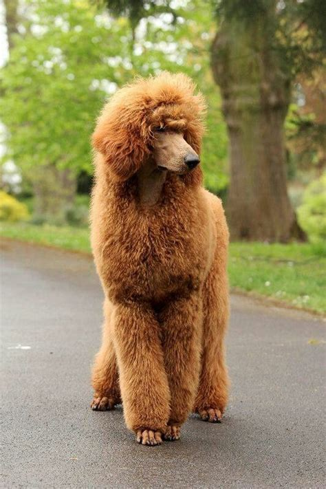differenct cuts for poodles 394 best images about poodles on pinterest french
