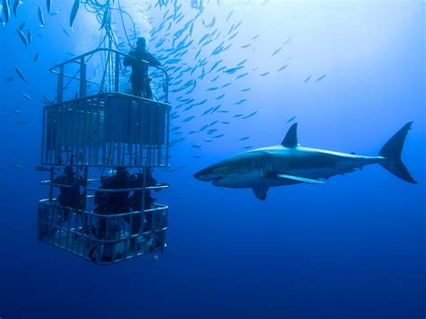 cage dive with sharks shark cage diving wine tasting africa experiences