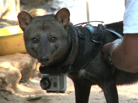 the elusive short eared amazon dog