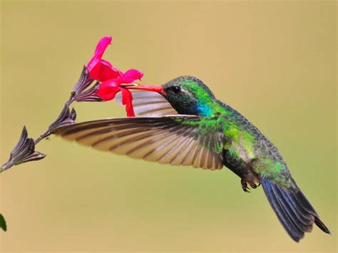 hummingbird nectar red flower wallpaper animals