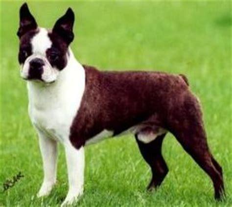 pug boxer mix puppies for sale bulldog boston terrier mix puppies for sale in ohio breeds picture