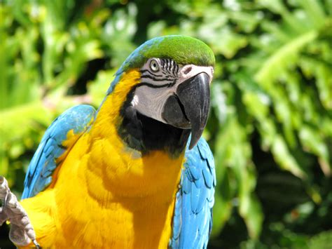 blue throated macaw  life  animals