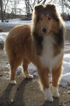 pats precious puppies collie puppies on collie shetland sheepdog puppies