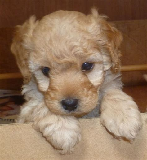labradoodle puppies price reduced price f1b labradoodle puppies bury greater manchester pets4homes
