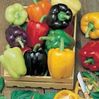 Benih Biji Tanaman Buah Paprika Pepper Sweet California benih paprika colour spectrum 5 biji non retail bibitbunga