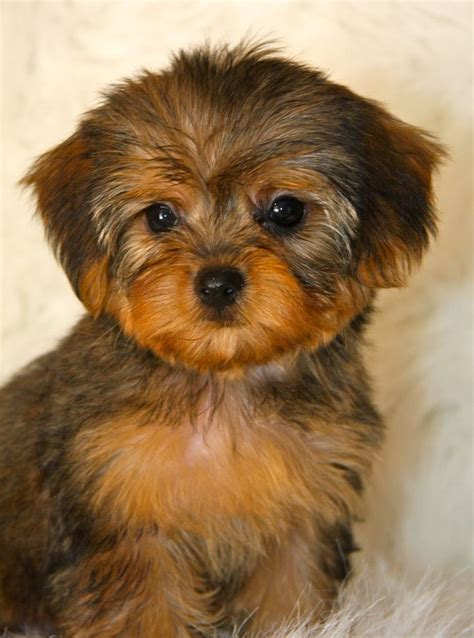 yorkie mix with poodle puppies best 25 yorkie poo puppies ideas on terrier poodle mix small dogs and