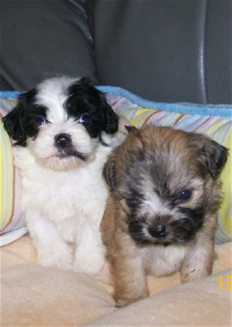 bichon frise shih tzu mix temperament shih tzu bichon frise mix temperament