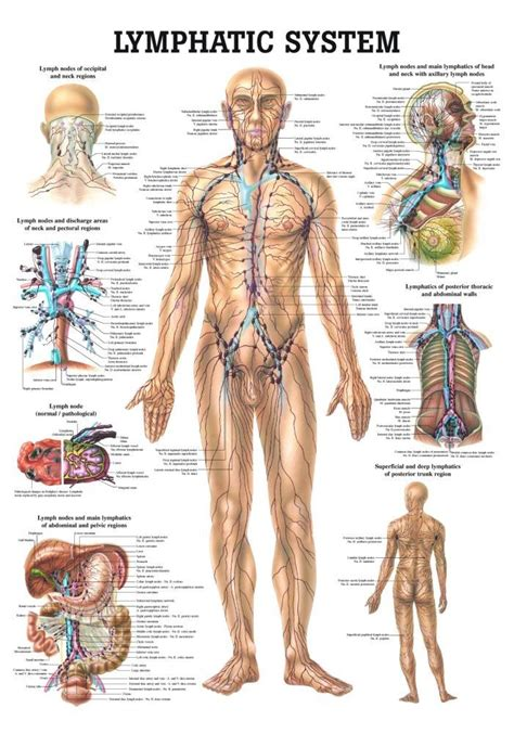 Lymphatic System Detox Symptoms by The 25 Best Lymphatic System Ideas On Detox