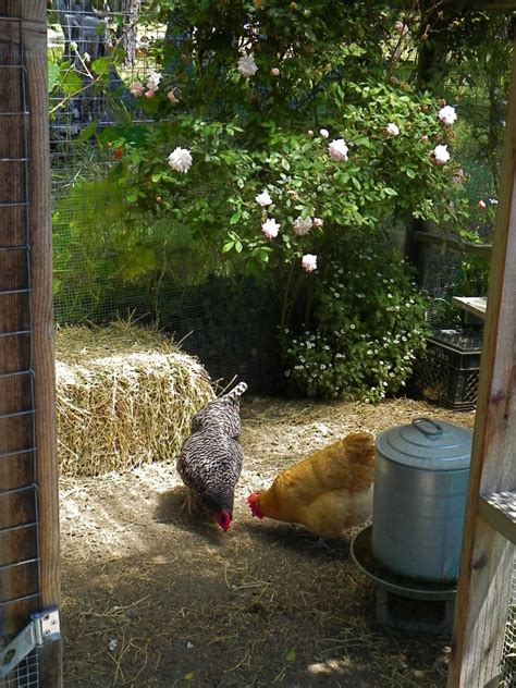 backyard cam backyard hencam chickens by the sea