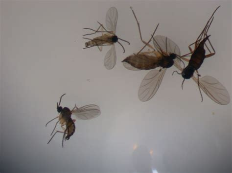 what causes gnats in house fungus gnat insect id