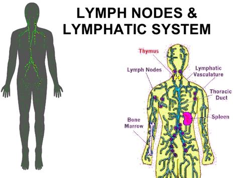 What Is A Lymp Node Detox Machine by Ymphatic System Models Picture