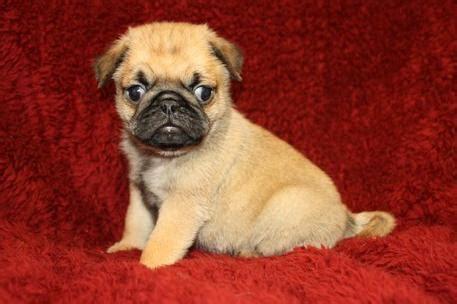free pug puppies arizona dogs chandler az free classified ads