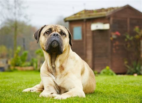 osteosarcoma dogs bone cancer osteosarcoma in dogs petmd