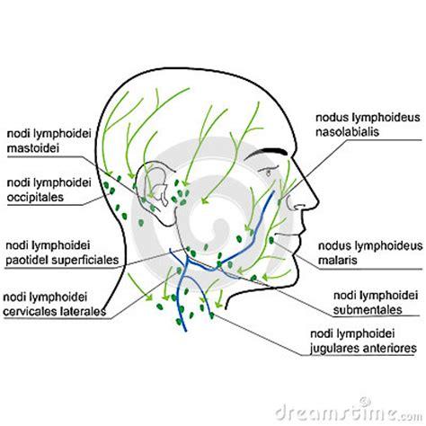 linfonodi testa collo linfonodi della testa e collo illustrazione vettoriale