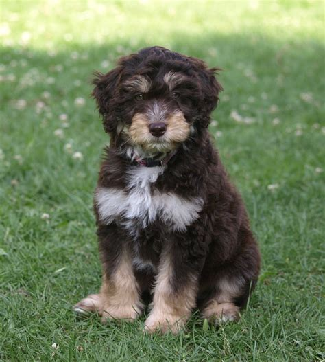 all breed puppy rescue ohio aussiedoodle rescue shelter breeds picture