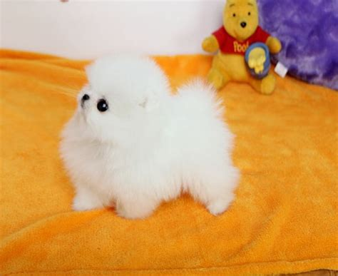 pomeranian puppies for sale liverpool gorgeous tiny teacup pomeranian puppies purebred liverpool dogs for sale puppies