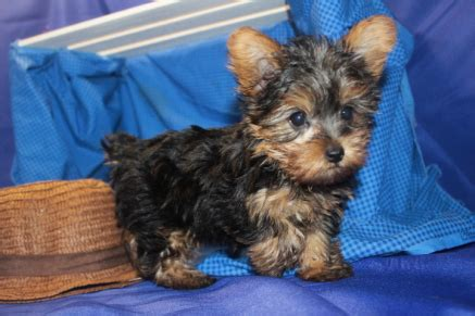 teacup yorkie orlando fl teacup yorkie available puppies tlc puppy