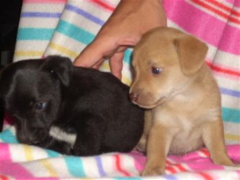 cagnolino da appartamento cani piccoli da appartamento ti presento il siberian