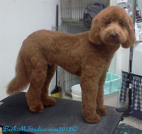 goldendoodle puppy grooming 25 best ideas about goldendoodle haircuts on