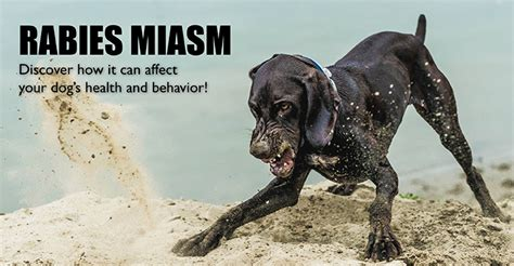 how are rabies for dogs rabies miasm the rabies vaccine side effect that can harm your dogs naturally