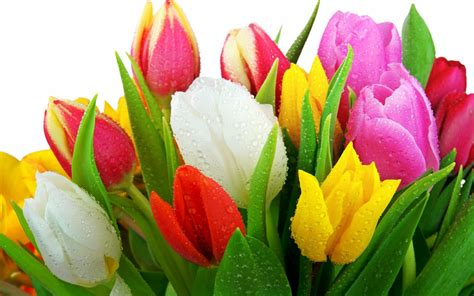 fresh tulips wallpapers hd wallpapers id