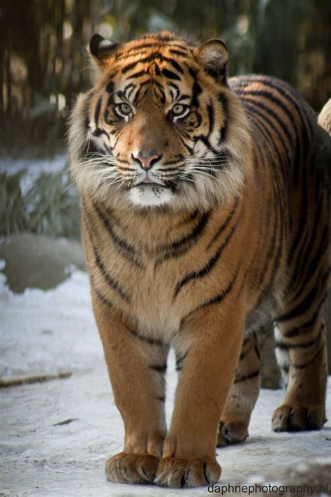 Baju Print Animal Tiger 22 best cats images on big cats animals and wildlife