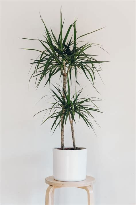 inside urban green low light low maintenance dracaena bowl 10 low light houseplants you won t be able to kill