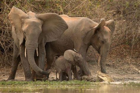 Water For Elephants Air Untuk Gajah By Gruen foto bikin ngilu buaya nyaris makan anak gajah