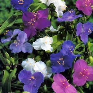 flowering shade plants zone 5 http www swallowtailgardenseeds com perennials spiderwort html