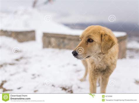 golden retriever season golden retriever in winter stock photo image 42703386
