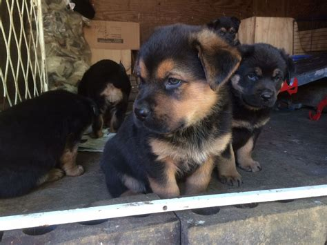 german shepherd rottweiler mix puppies german shepherd rottweiler mix puppies for sale