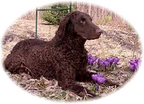 Curly-Coated Retriever Dog Breed Information, Puppies ...