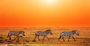 Burchell s zebra serengeti national park tanzania