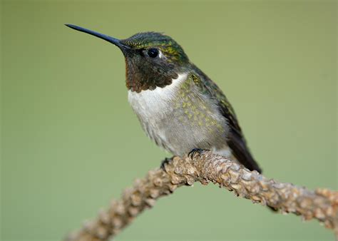 strawberry plains celebrates hummingbird migration audubon