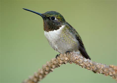 strawberry plains celebrates hummingbird migration audubon