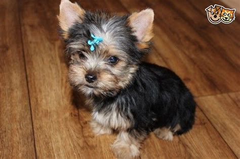 wanted yorkie puppy wanted a kc reg tea terrier chorley lancashire pets4homes