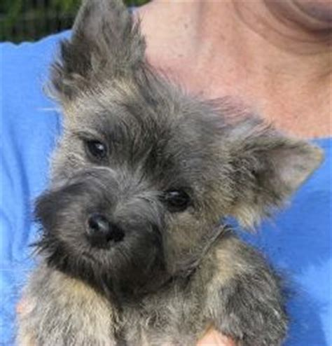 cairn terrier puppies ohio 25 best ideas about cairn terriers on cairn terrier puppies cairn