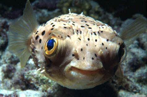 Puffer Fish L all animals puffer fish