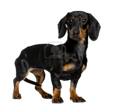 daschund breeds puppiez