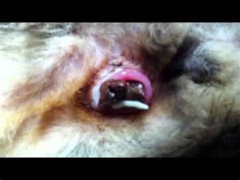 lintworm proglotide komt uit de anus youtube